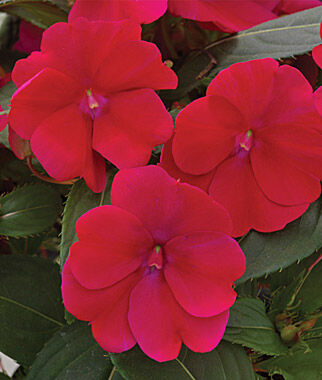 Impatiens, SunPatiens Royal Magenta 3 Plants, Annuals, Annual Flowers, Annual Flower Plants, Flower Plants, Flowering Annuals, Bedding Plants