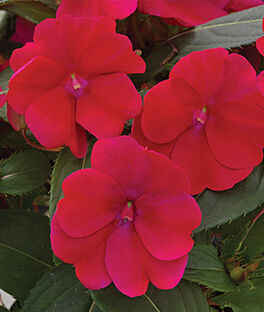 Impatiens, SunPatiens Royal Magenta, , large