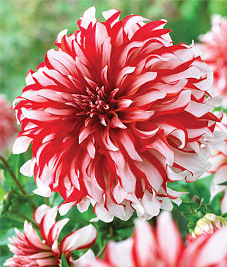 Dahlia Seeds and Bulbs - Cutting and Bedding Gardens, Annual ...
