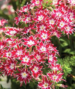 Phlox, Popstars Bright Rose with Eye Hybrid, , large