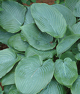Hosta, Empress Wu , , large