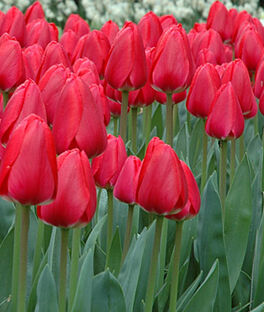 Tulip, Cherry Delight, , large