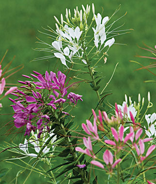 Cleome, Queen Mixed Colors, , large