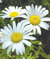 Shasta Daisy, Snow Lady, , large