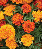 Marigold, Triple Treat, , large