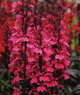 Lobelia speciosa, Starship Deep Rose, , large