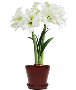11209R-Amaryllis Christmas Gift in Red pot, , large