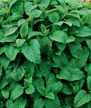Lemon Balm, , large