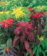 Amaranthus, Summer Poinsettia Mix, , large