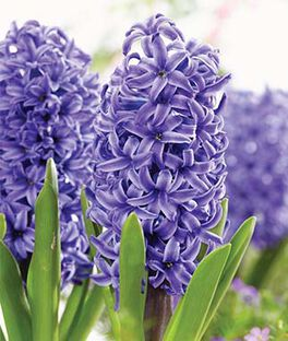 Hyacinth, Blue Pearl, , large