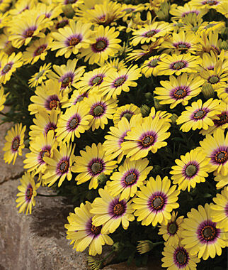 Osteospermum, Blue Eyed Beauty 3 Plants, Annuals, Annual Flowers, Annual Flower Plants, Flower Plants, Flowering Annuals, Bedding Plants