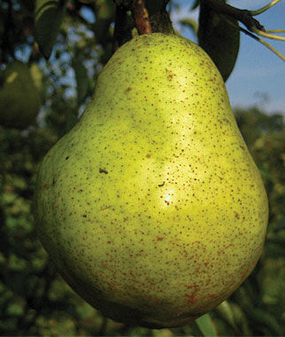 European Pear,  Bartlett, , large