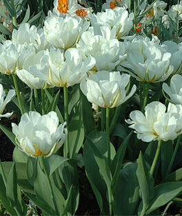 Tulip, Exotic Emperor, , large