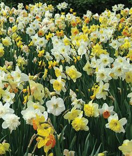 Daffodils, Mixed, , large