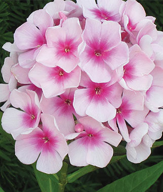 Phlox, Flame® White Eye PPAF , , large
