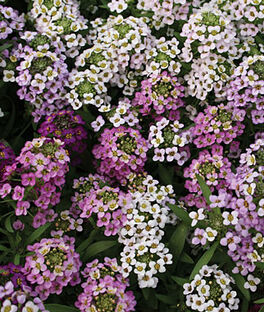Alyssum, Easter Basket Mix, , large