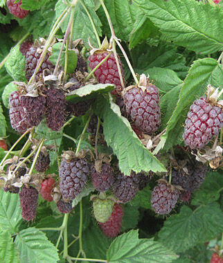 Loganberry, , large
