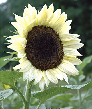 Sunflower, Coconut Ice Hybrid, , large