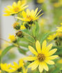 Helianthus, Lemon Queen, , large