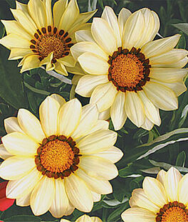 Gazania, Creamsicle, , large