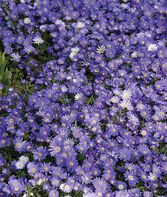 Anemone, Blanda Blue Shades, , large