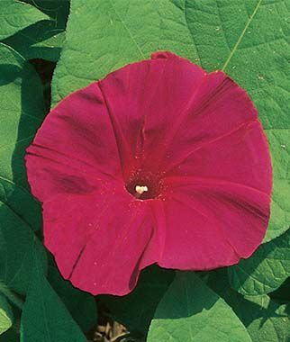 Morning Glory, Scarlett O' Hara, , large