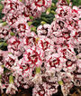 Dianthus, Coconut Punch  PPAF, , large