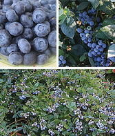 Blueberry, The Southern Collection, , large