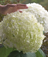 Hydrangea Incrediball ™ PPAF, , large