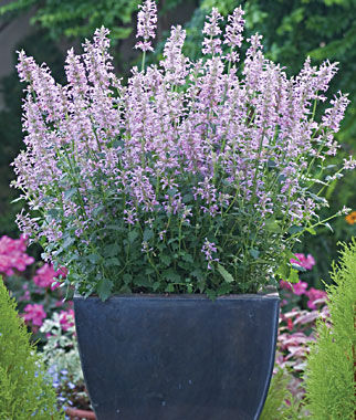 Agastache, Rose Mint, , large