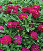 Zinnia, Zahara Double Cherry, , large