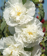 Hollyhock, Rosea The Bride, , large