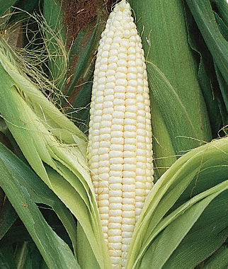Corn, Silver Queen Hybrid, , large