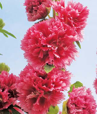 Hollyhock, Chaters Pink, , large