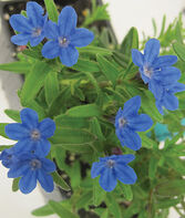 Lithodora, Grace Ward, , large
