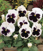 Pansy, White Blotch, , large