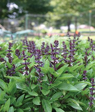 Basil, Holy Green Stem 1 Pkt. (100 seeds), Basil Seeds, Basil Plants, Basil Starts, Herb Seeds, Herb Plants, Garden Seed, Vegetable Seeds