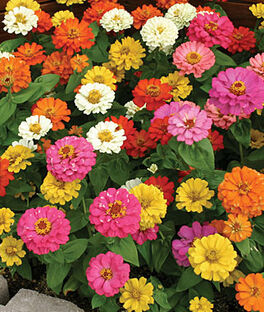 Zinnia, Thumbelina Mix, , large