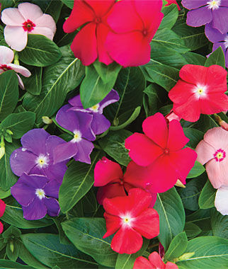 Vinca, Arizona Mix, , large