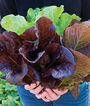 Lettuce, Fan Dance Hybrid, , large