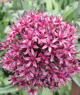 Allium, Aschersonianum, , large