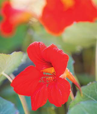 Nasturtium, Empress Of India, , large