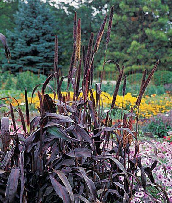 Black shrubs bushes and plants for Dark ornamental grasses