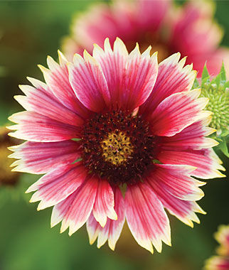 Gaillardia, Punch Bowl Hybrid, , large