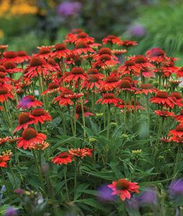 Echinacea Sombrero® Flamenco Orange , , large