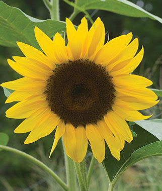del sol hybrid sunflower seeds and plants, annual flower garden at, Beautiful flower