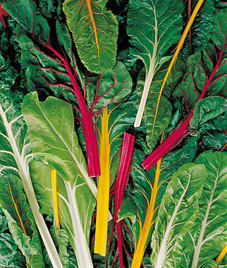 Swiss Chard, Neon Lights Blend, , large