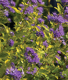 Caryopteris incana, Sunshine Blue II, , large
