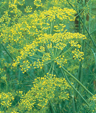 Herb, Dill Bouquet Organic, , large