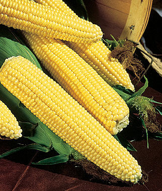 Corn, Northern Xtra-Sweet Hybrid, , large